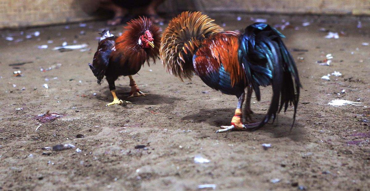 fighting chicken