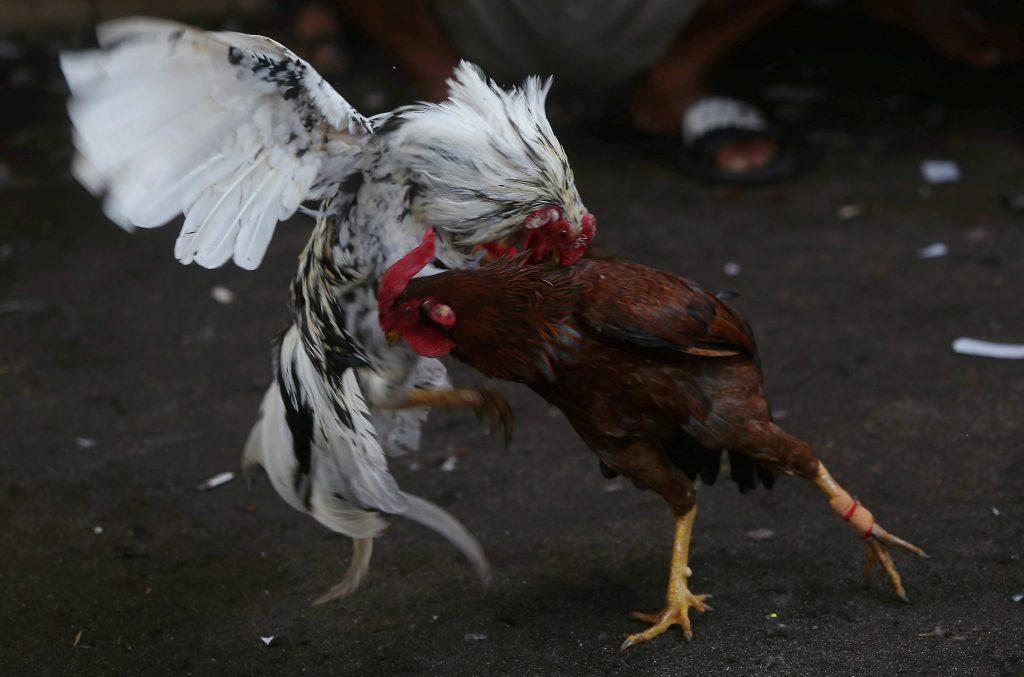 Judi Ayam Online terpercaya