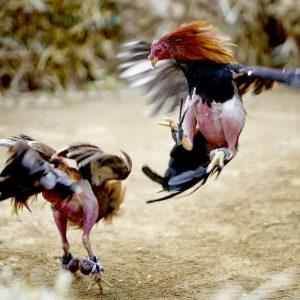Judi Ayam Online terpopuler