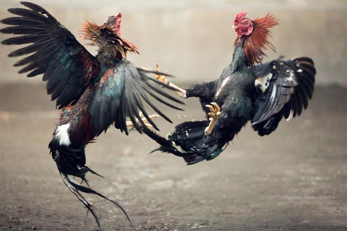 bandar sabung ayam terpopuler