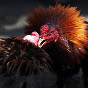 Judi Sabung Ayam terpercaya