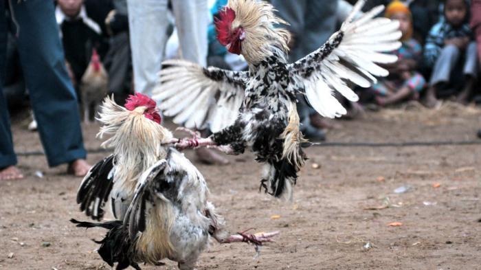 Judi Sabung Ayam terpopuler